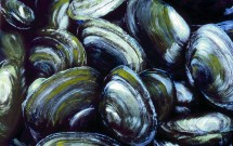 Broad Cove Clams